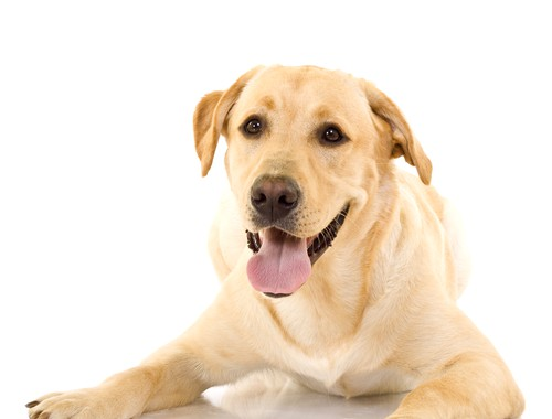 Dog Neutering Manchester. A Cute Golden Retriever Dog, Isolated On A White Studio Background