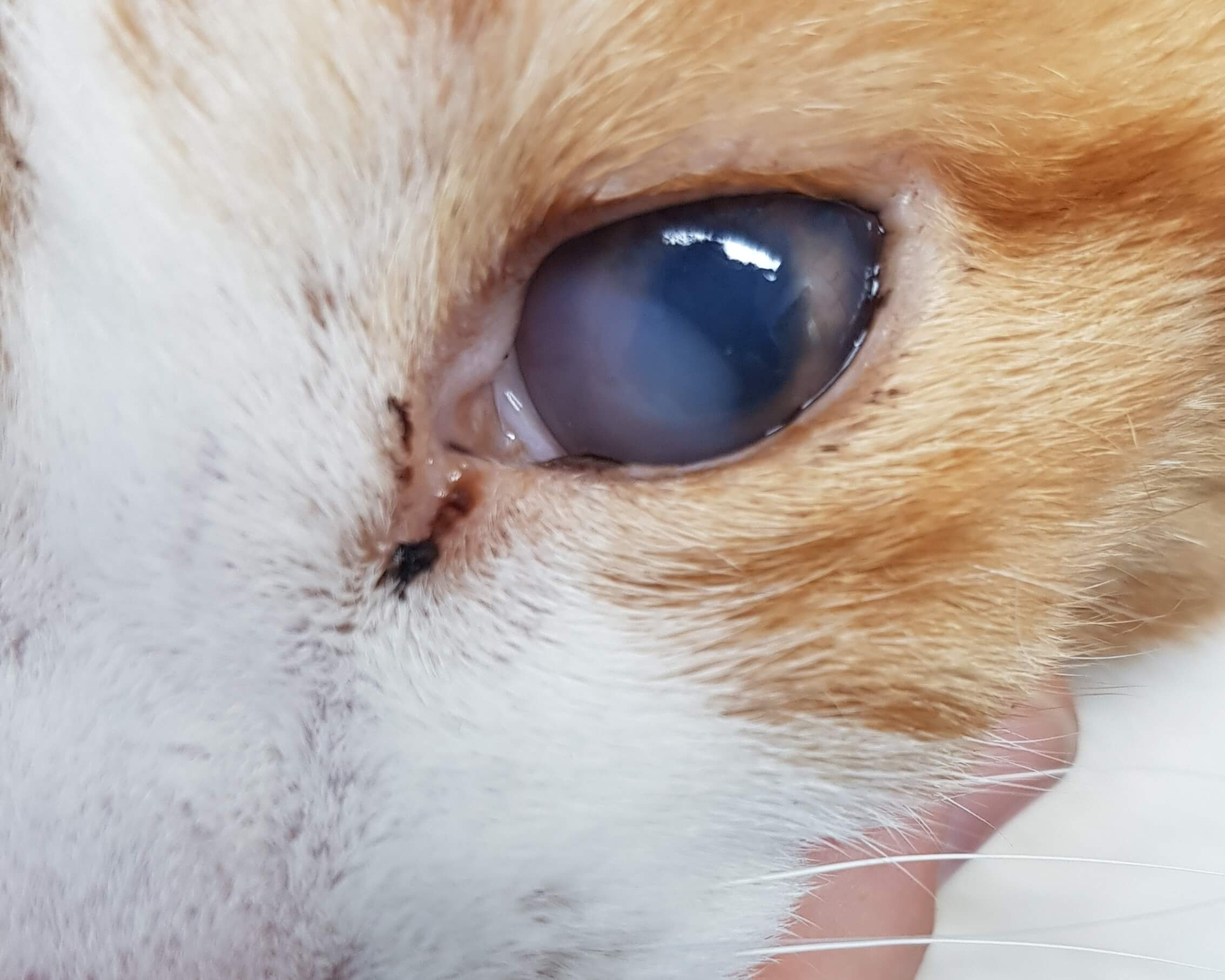 Cat With Uveitis