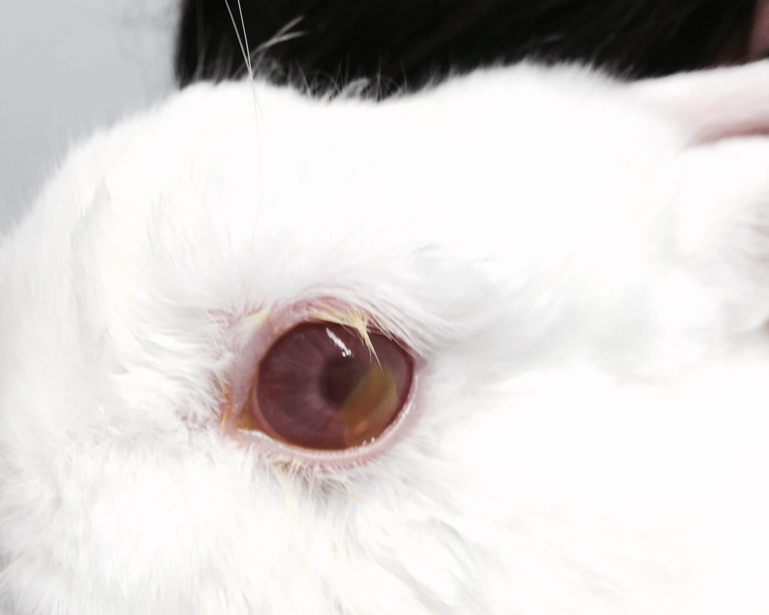 Rabbit With Uveitis