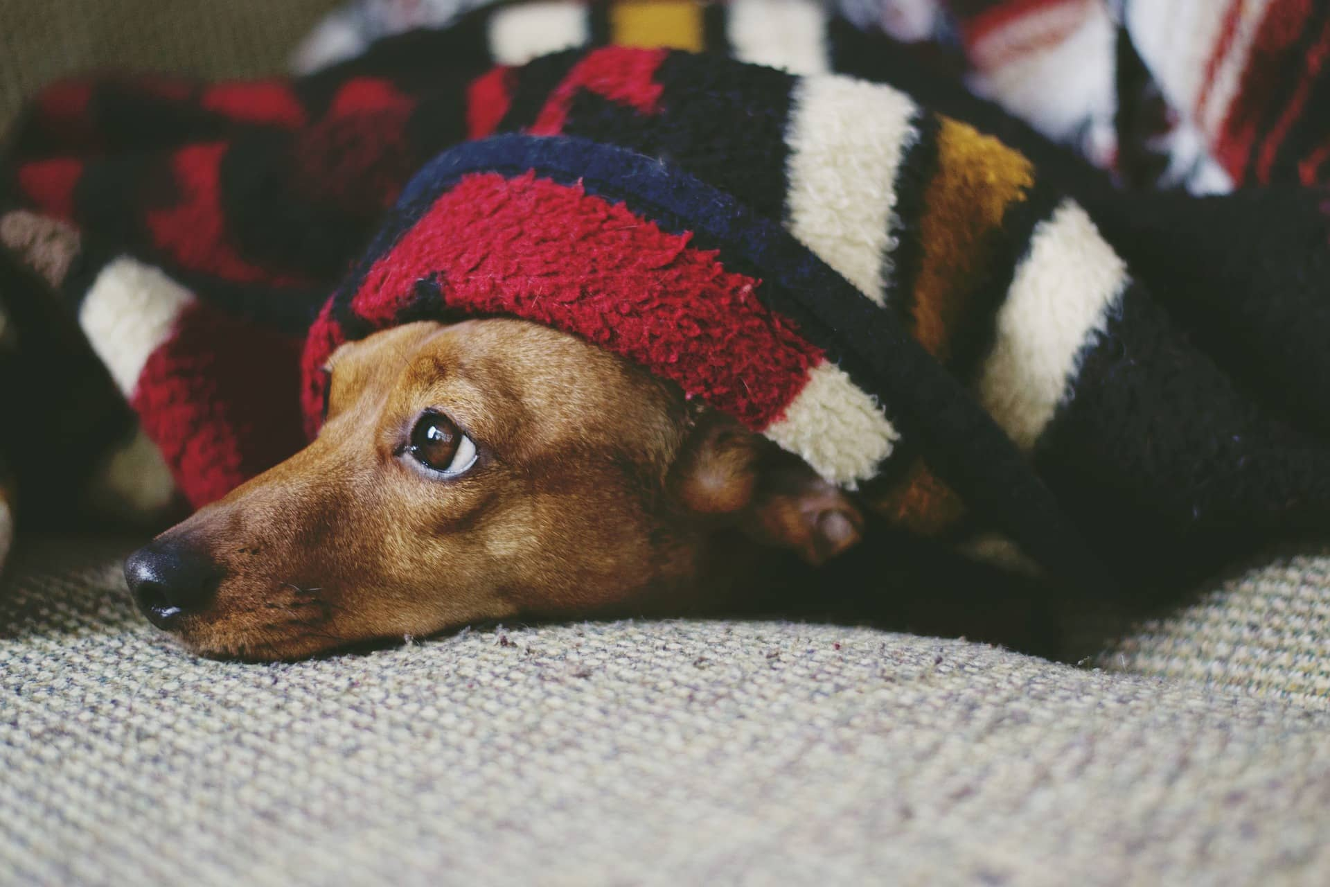 dog staying home alone